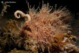 hairy-frogfish