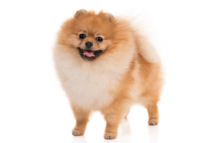 A Pomeranian on a white background.