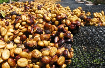 Honey-processed coffee drying on a black drying bed.
