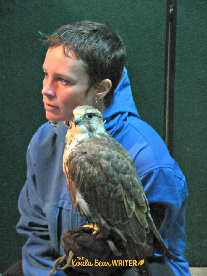 Falcon with handler at the Raptors Centre in Duncan, BC