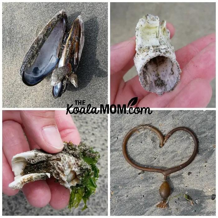 Beach treasures: mussel, kelp, barnacles