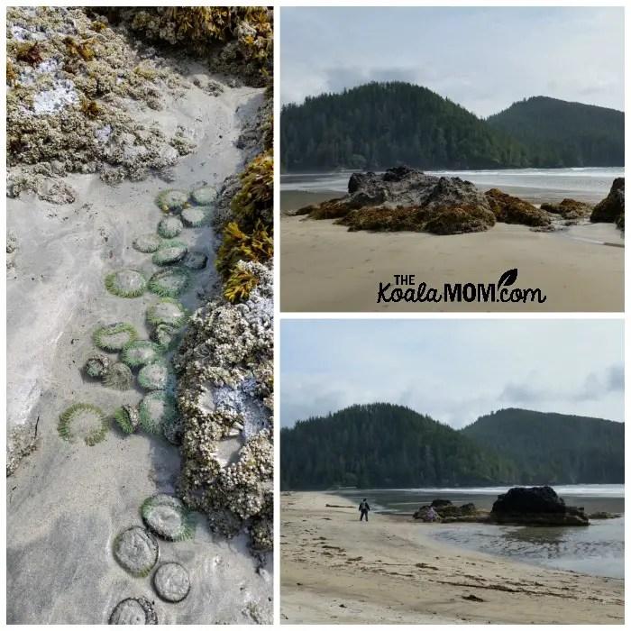 Sandy anenomes on the beach at San Josef