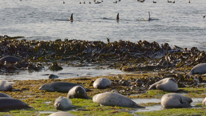 Orcas in the Falkland Islands pursue powerful elephant seals - a feat they can't do alone. (National Geographic for Disney+/Kevin Krug)