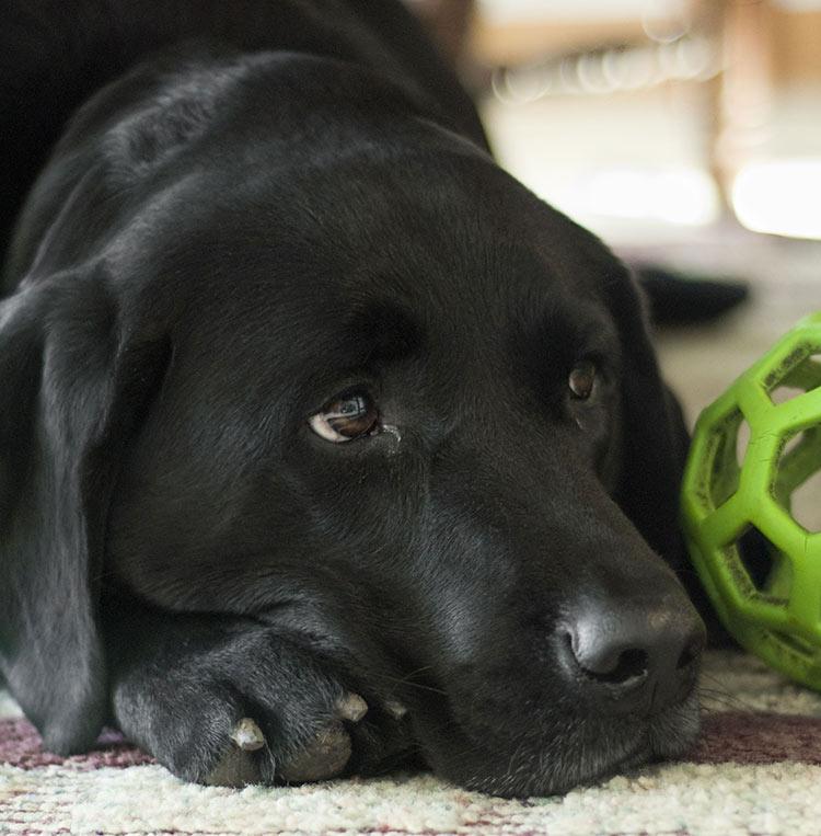 Black Lab  Your Guide To The Black Labrador Retriever