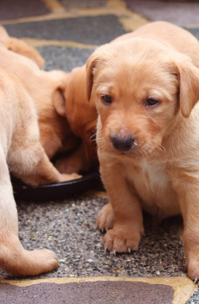 Newborn Chocolate Lab Puppies : newborn, chocolate, puppies, Puppy, Development, Guide, Important, Stages