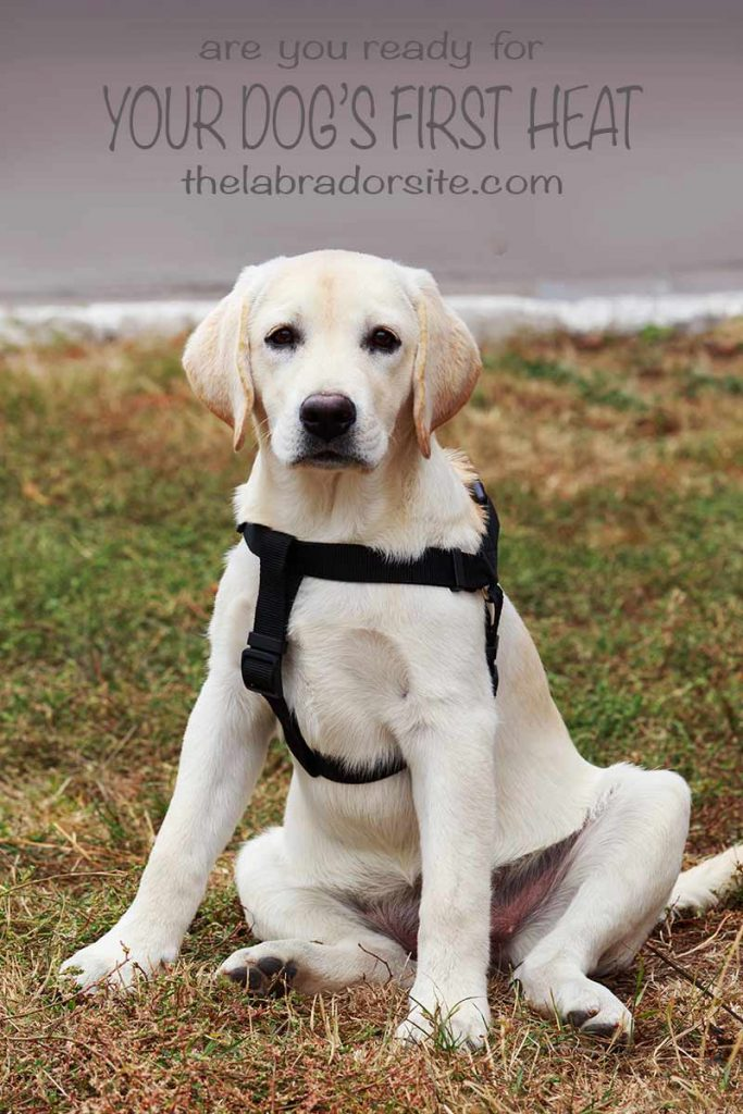 How To Separate Dogs After Mating : separate, after, mating, Heat:, Expert, Guide