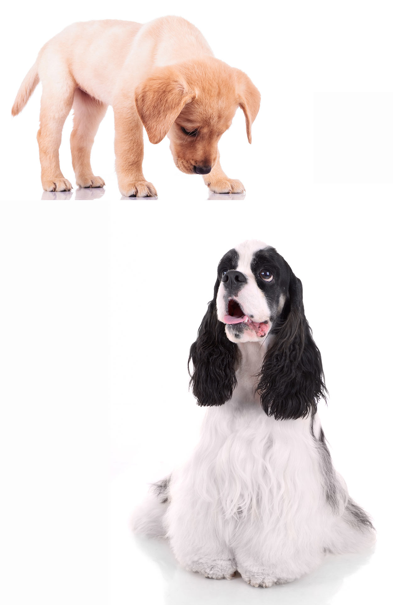 Cocker Spaniel And Lab Mix : cocker, spaniel, Welcome, Complete, Guide, Cocker, Spaniel