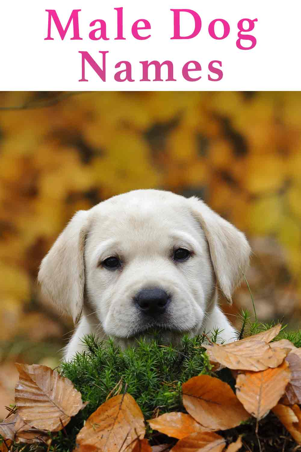 Indian Dog Names Male : indian, names, Names, Brilliant, Puppy, Ideas