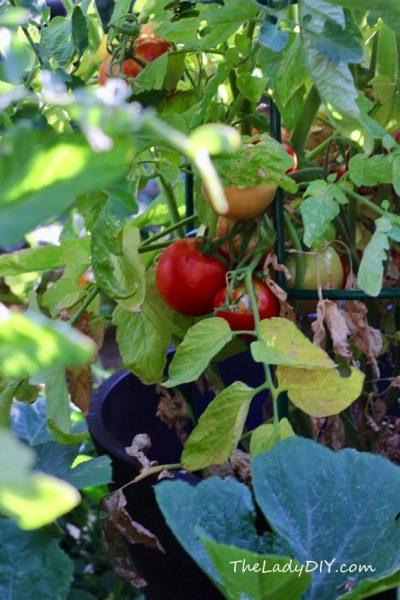 Tomatoes_theladydiy