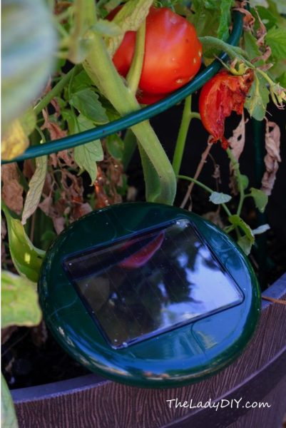 Tomatoes_rat repeller_theladydiy