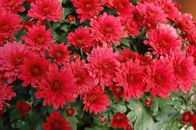 098-belgian-mum-lava-red-1024x681