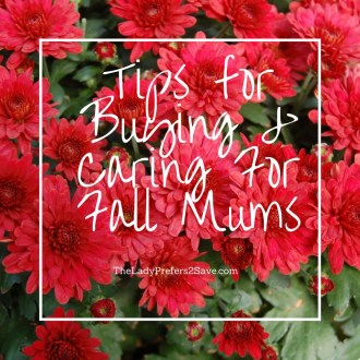 Tips for Buying & Caring For Fall Mums