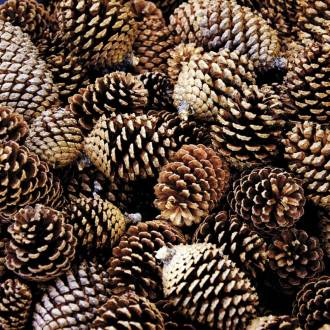 DIY Holiday Scented Pine Cones