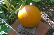 This Jack O'Lantern is small (about 13 inches girth) but perfectly formed