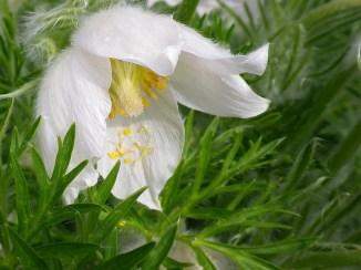 Pulsatilla alba in flower