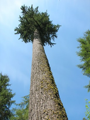 A Douglas fir towers above the photographer. - Photo by Wildcat Dunny, Flickr