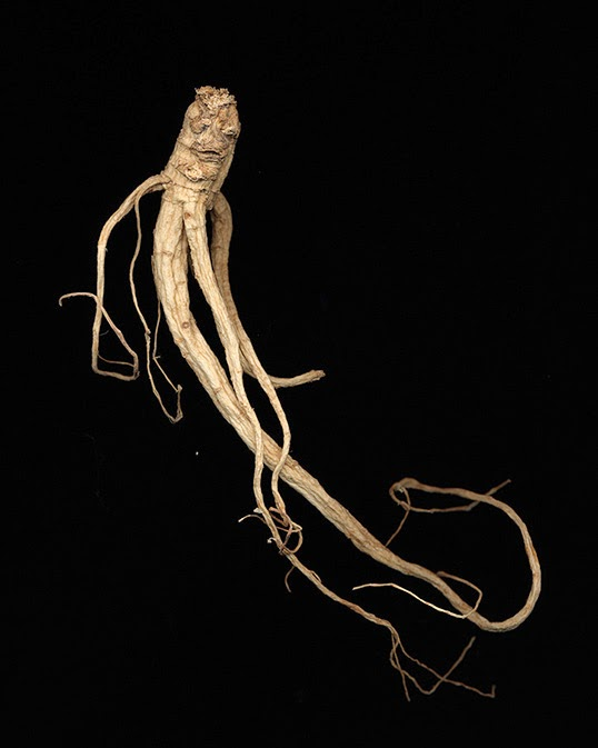 """A ginseng photo part of the series """"Ginseng Root Studies"""". 