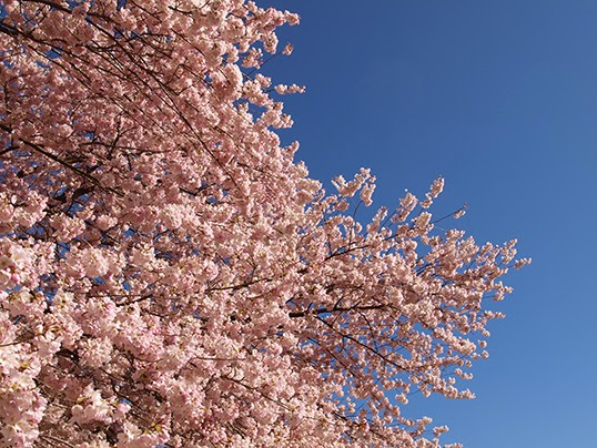 Finding Perennial Meanings Under Vancouver S Cherry Blossom Trees