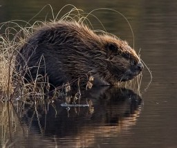 beaver_water