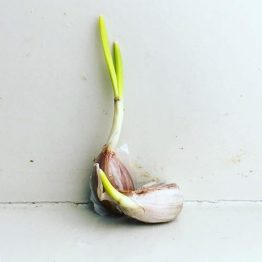 Sprouting garlic cLove.