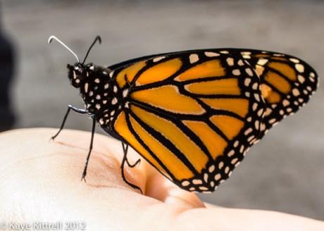 kk_lb-monarch-emerges-123