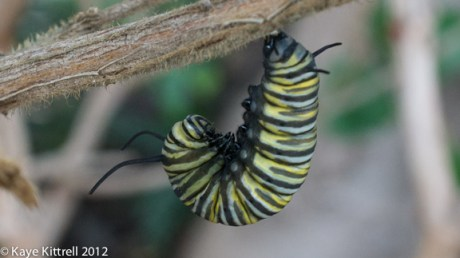 Monarch Beginning to Form Chrysalis