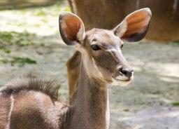 Greater-Kudu