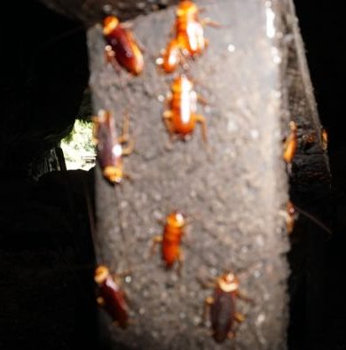 Cockroaches in the Gomantong Caves of Malaysian Borneo
