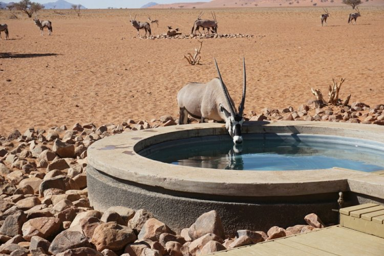 Oryx drinking from the pool at Wolwedans Private Camp.