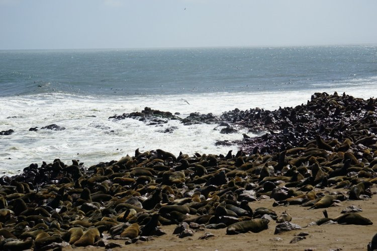 The seal colony at Cape Cross