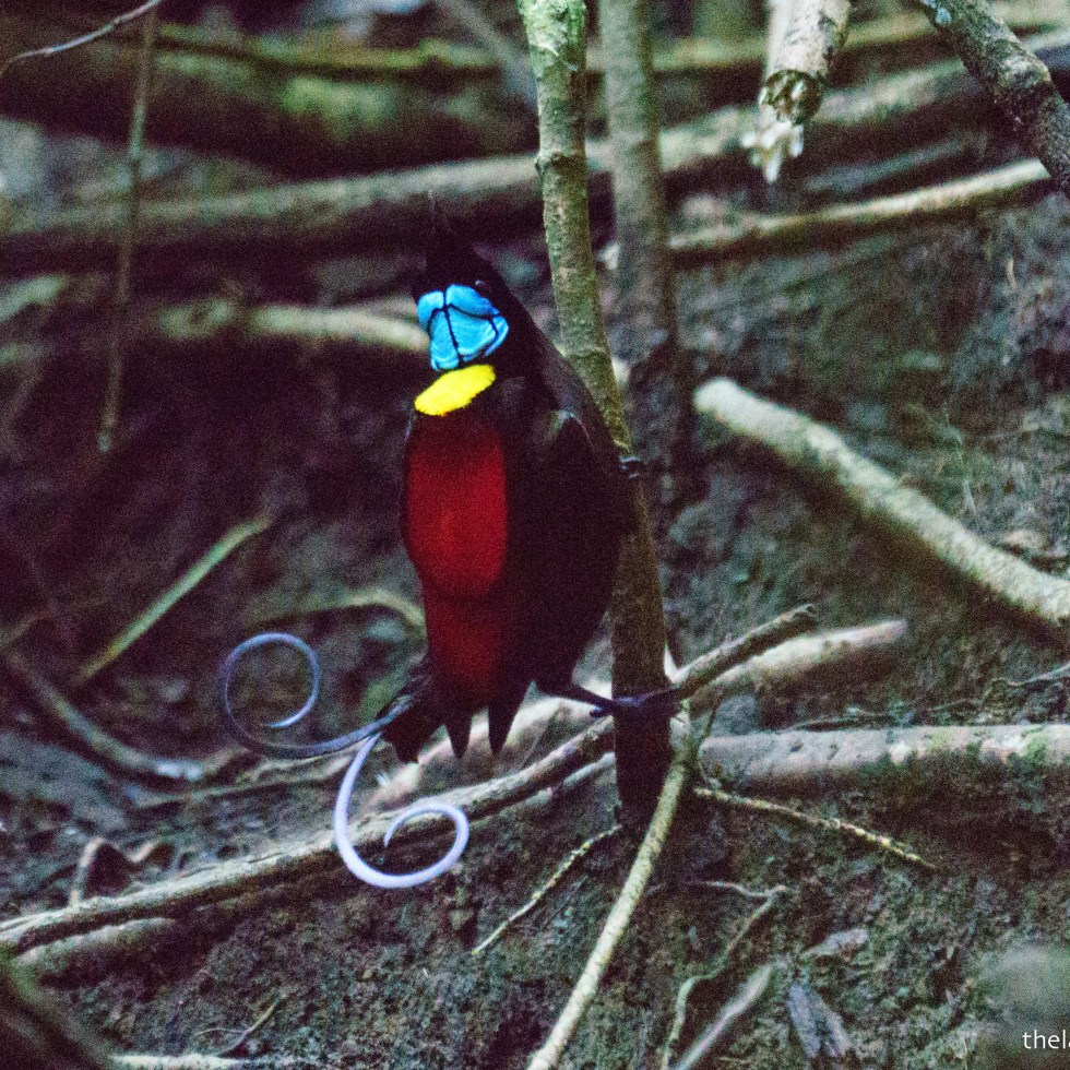 Wilson's Bird of Paradise, Raja Ampat, Indonesia