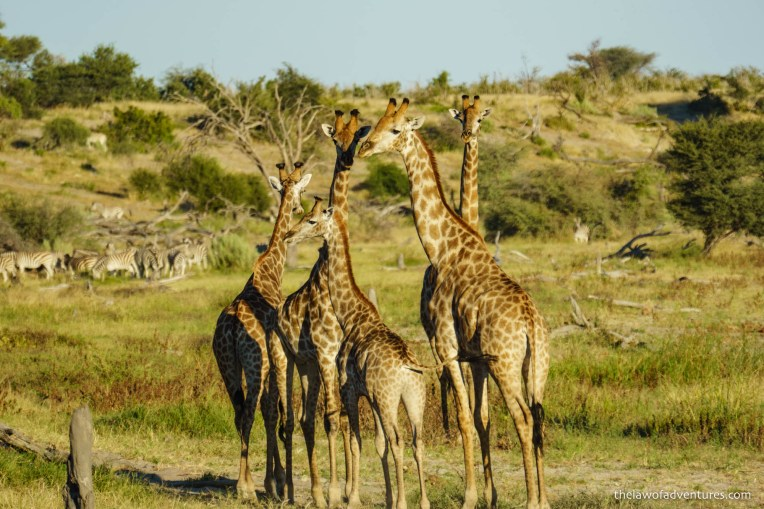 A tower of giraffe at the edge of the Boteti River.