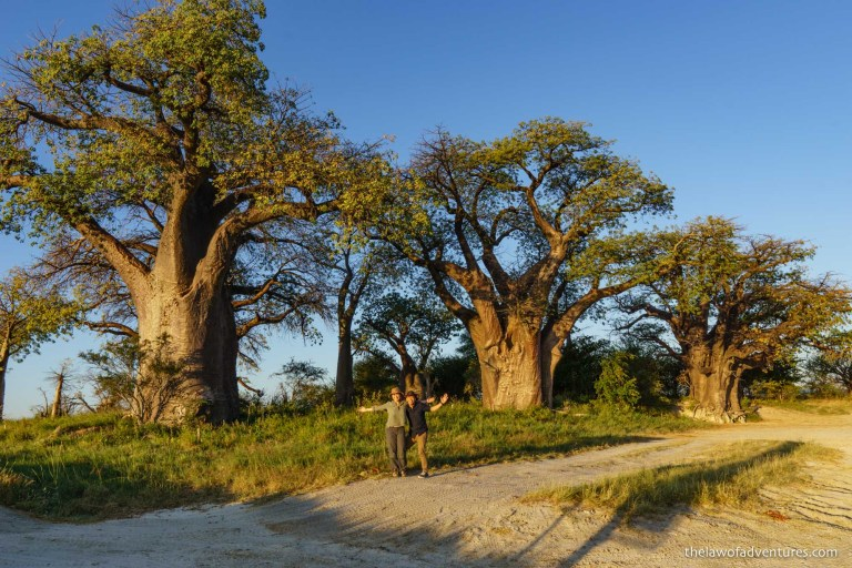 Baines' Baobabs at sunset