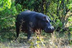 Hippo at the Chobe Riverfront