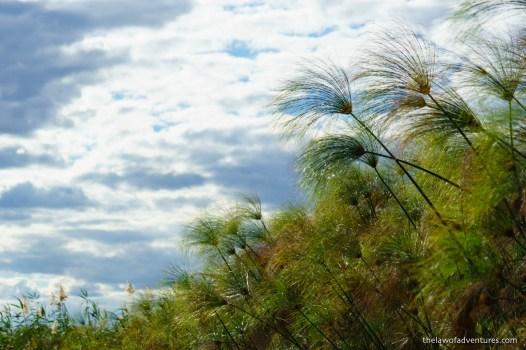 Papyrus reeds