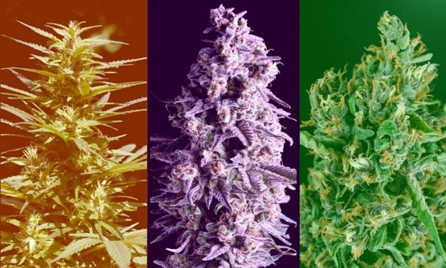 Indica, Sativa, Ruderalis - Did We Get It All Wrong, Source: https://s3.amazonaws.com/leafly/content/sativa-indica-and-hybrid-whats-the-difference-between-cannabis-ty/primary.jpg