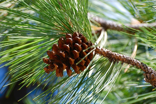 Terpene Profile: Pinene, Source: http://images.fineartamerica.com/images-medium-large-5/pine-cone-on-branch-kimberley-anglesey.jpg