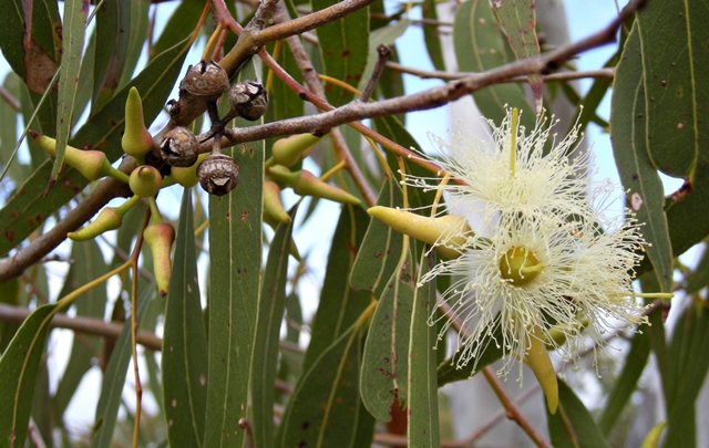 Terpene Profile: Eucalyptol, Source: http://upload.wikimedia.org/wikipedia/commons/4/4c/Eucalyptus_tereticornis_flowers,_capsules,_buds_and_foliage.jpeg