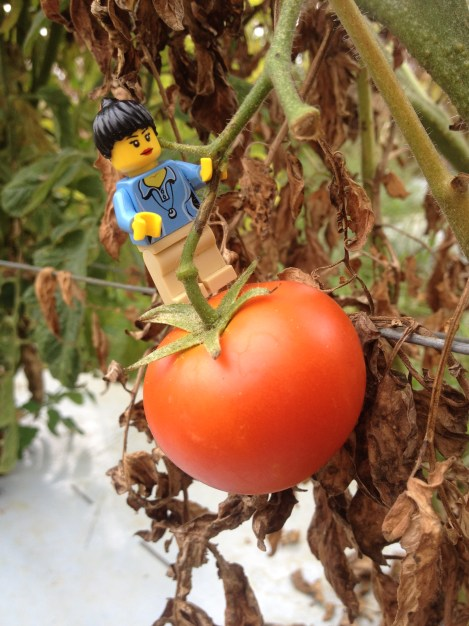 We started working at a tomato farm in Stanthorpe!