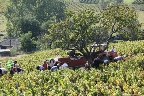 Hand picking the Gamay grapes