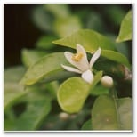 Orange blossom is distliled into the fragrant Neroli essence