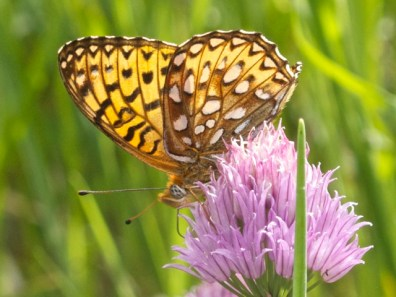 Atlantis fritillaries have dark brown around the silver spots on the hind wing. Note the proboscis (feeding tube) extending down from the head.