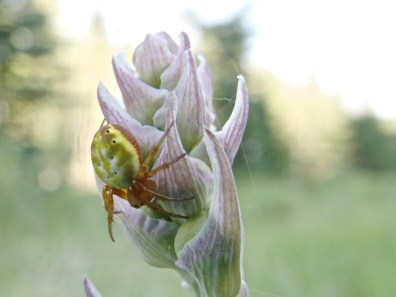 Sixspotted orbweaver on green lily