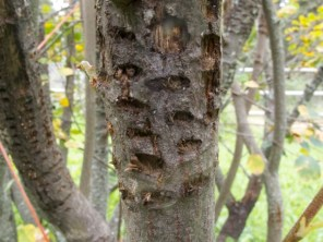 The saskatoon bush has also seen lots of sapsucker activity.