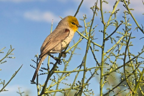 Male verdin, with bright red shoulder patch