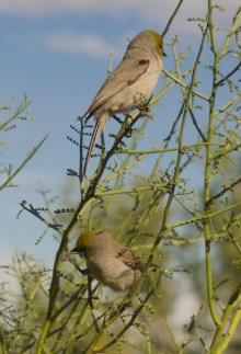 Male (top) and female verdin in palo verde