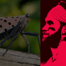 Phillies Red October Lanterfly
