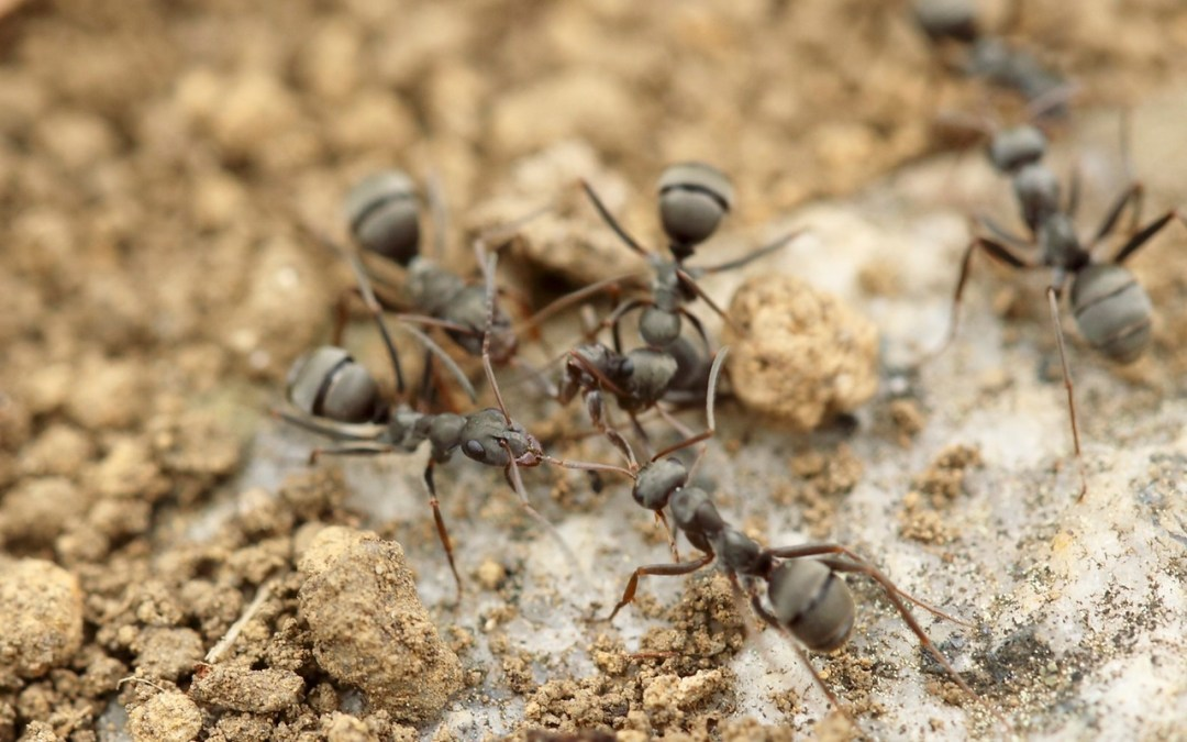 How to give the Queen Ant Heartburn