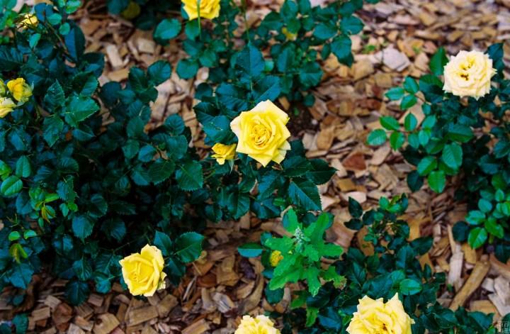 Leica M7, Summilux-M 1:1.4/50 asph | Kodak Portra 400