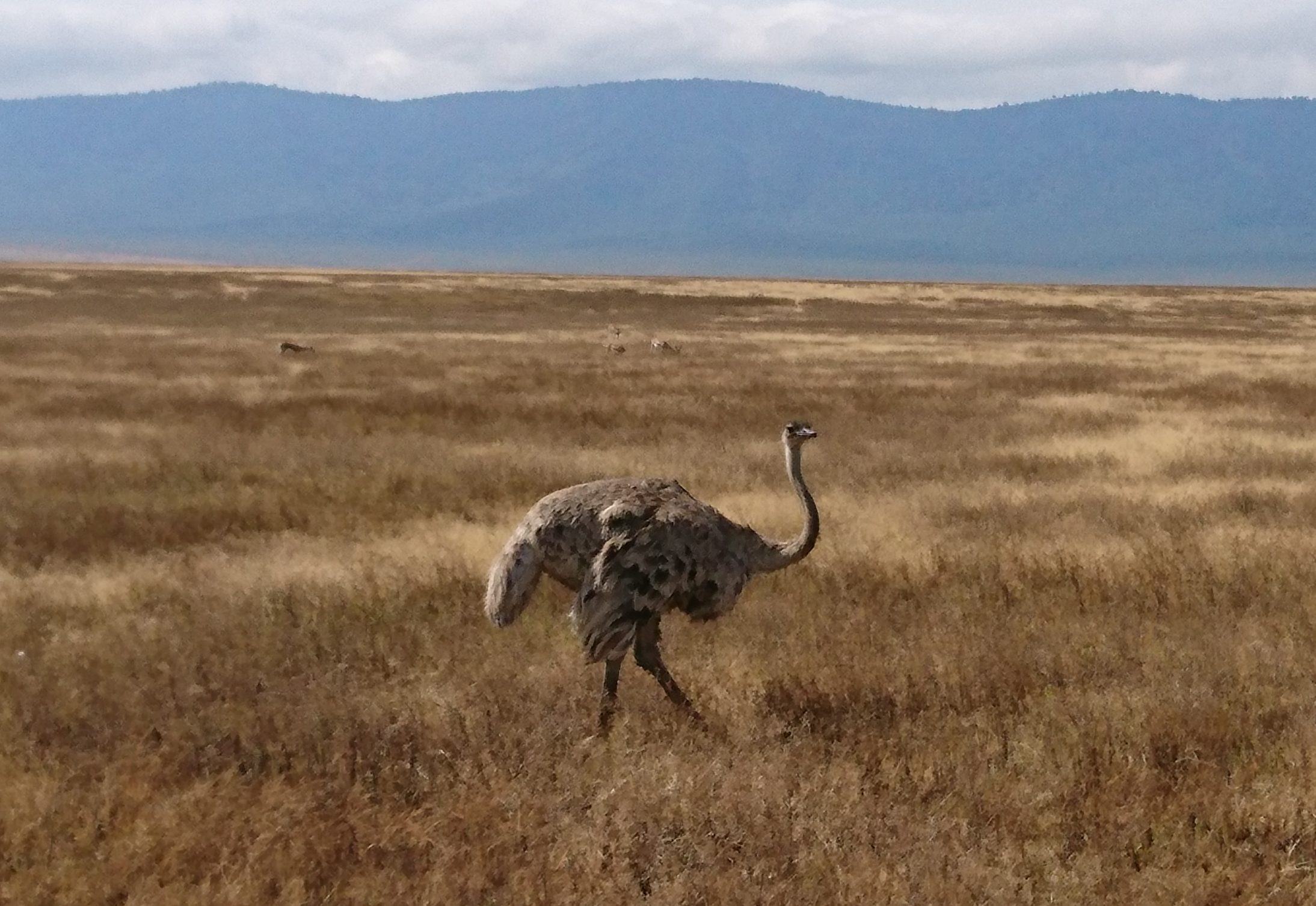 Ostrich Ngorongoro Crater